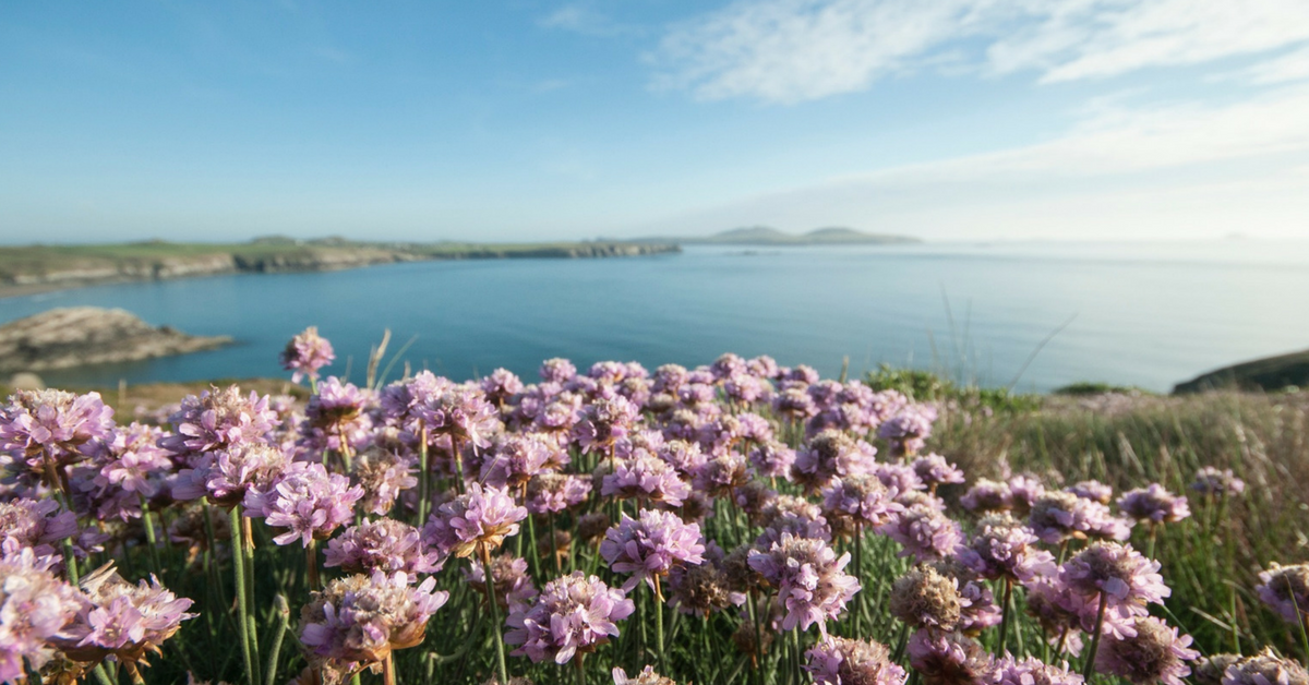 Purple wildflowers with sea in background